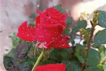 玫瑰施肥方法,用什么肥好插图(1)