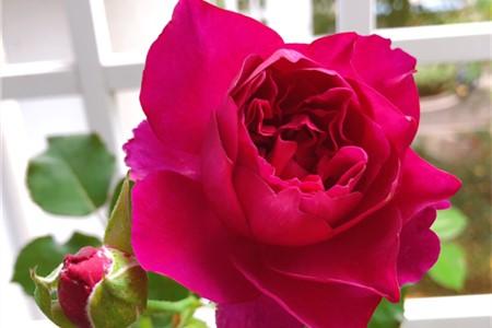 玫瑰施肥方法,用什么肥好插图(3)