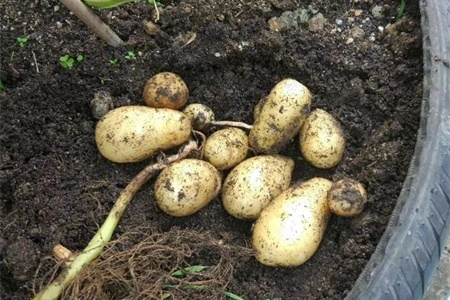 种土豆的方法,用什么底肥最好插图(3)