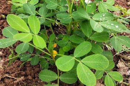 种花生用什么肥料最好,怎么施肥插图(2)