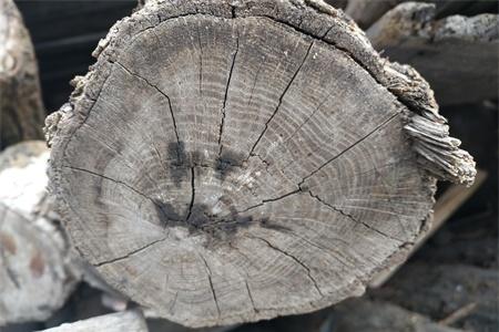 大树的年轮较密的向什么面,年轮能告诉我们什么