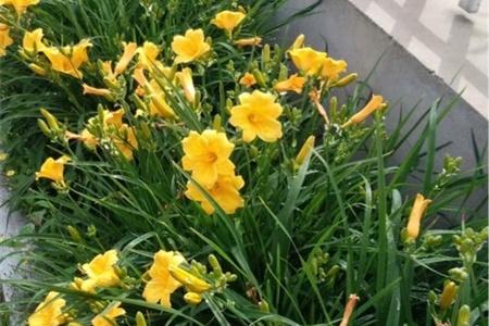 天津适合养什么花,市花和市树是什么插图(2)