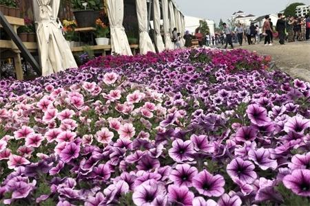 石家庄适合养什么花,市花和市树是什么插图(2)