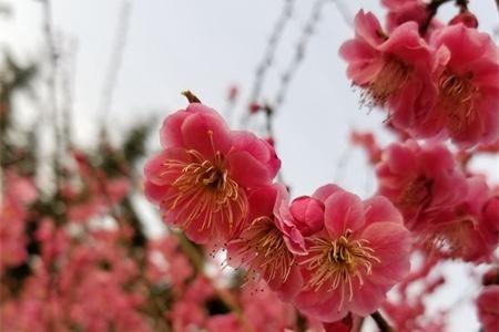 南京适合养什么花,市花和市树是什么插图(3)