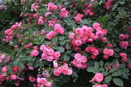 南通适合养什么花,市花和市树是什么插图(2)