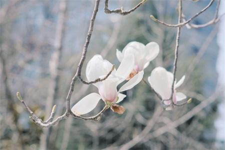 连云港适合养什么花,市花和市树是什么插图(3)