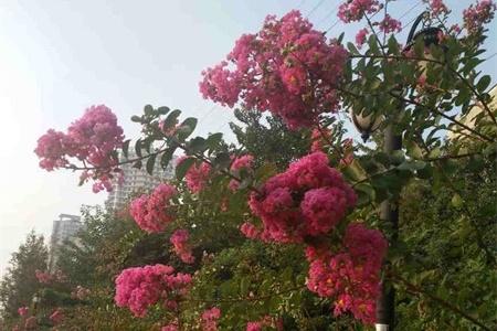 泰安适合养什么花,市花和市树是什么插图(2)