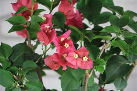 梧州适合养什么花,市花和市树是什么插图(3)
