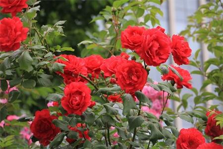 天水适合养什么花,市花和市树是什么插图(3)