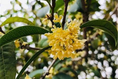 温州适合养什么花,市花和市树是什么插图(1)