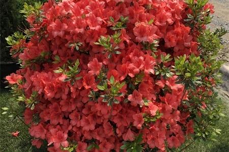 温州适合养什么花,市花和市树是什么插图(2)
