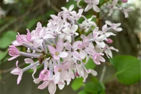 吉林适合养什么花,市花和市树是什么插图(1)