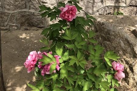 松原适合养什么花,市花和市树是什么插图(2)