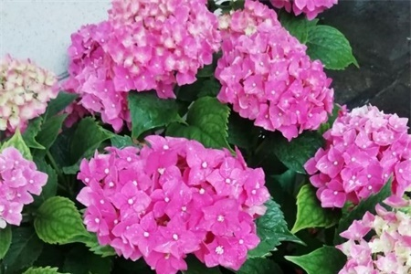 鞍山适合养什么花,市花和市树是什么插图(2)