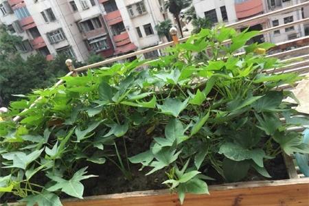 红薯什么时候种植最好插图(2)