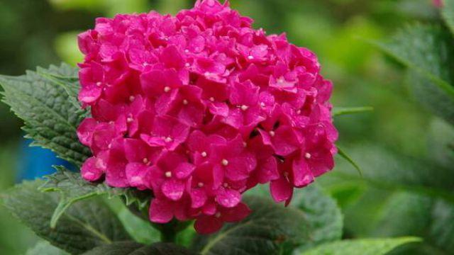 八仙花的作用