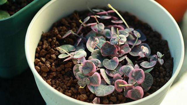 爱之蔓家庭种植及养护方法详解