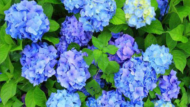 绣球怎么开蓝色花