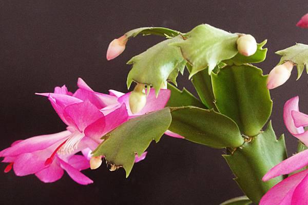 如何让嫁接的蟹爪兰当年开花