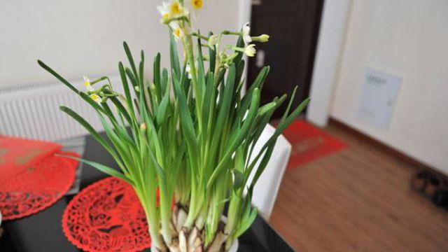 盆栽水仙花的养殖方法和注意事项