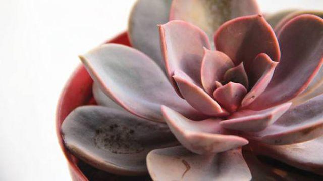 紫珍珠的繁殖方法