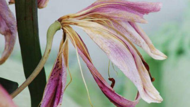 百合花常见的病虫害