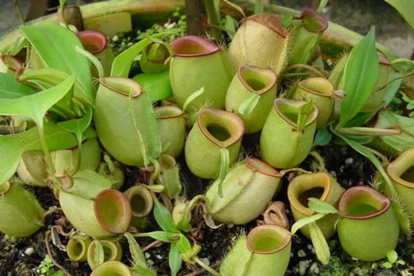 猪笼草主要病虫害的防治