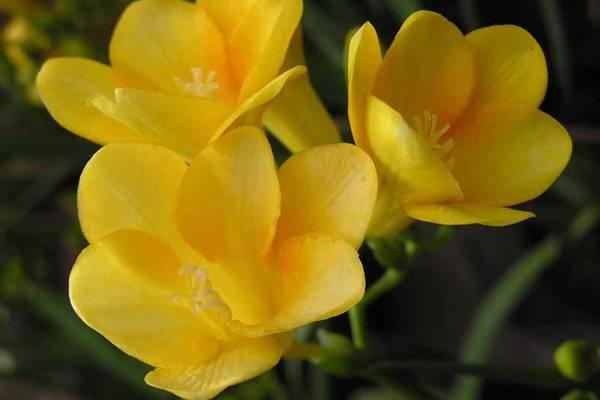 香雪兰(小苍兰)花卉摘采后处理方法