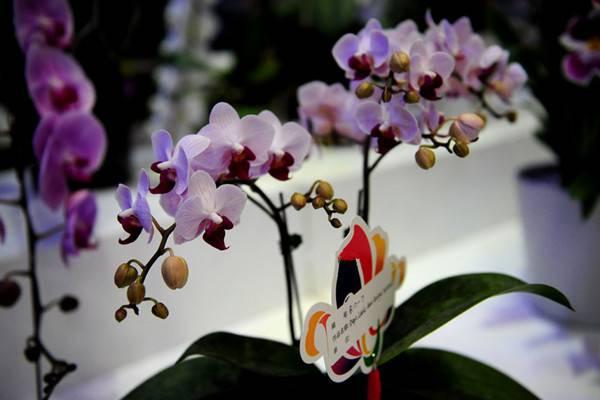 石斛兰适合在室内种植吗