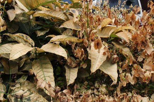 盆栽玉兰花夏季枯叶怎么办