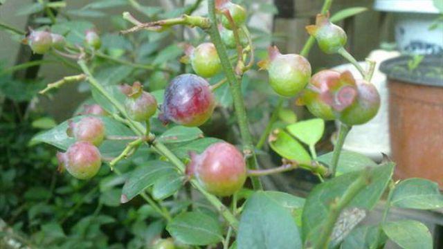 阳台蓝莓的种植方法