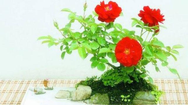 月季花盆景制作方法
