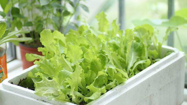 阳台怎么种生菜