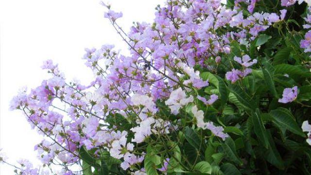 紫薇花的养护注意事项