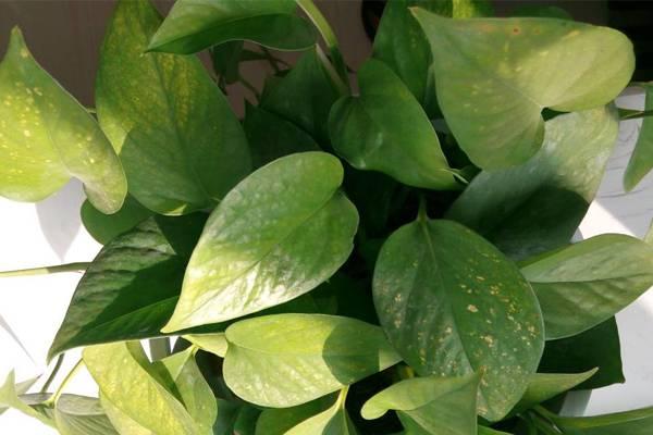 盆栽绿萝病虫害的防治