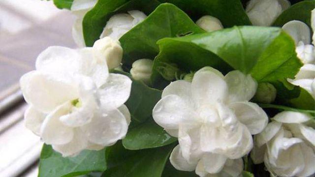 大叶栀子花的养殖方法