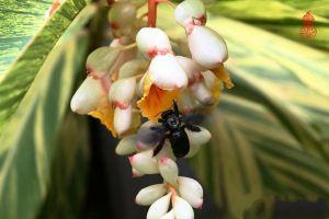 姜花的病虫害防治