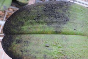 蝴蝶兰常见病虫害及防治