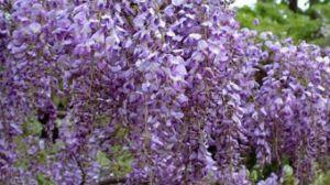 紫藤常见虫害及防治