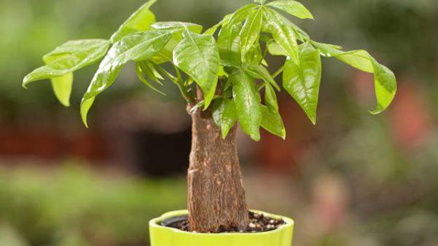 发财树的四季养护方法