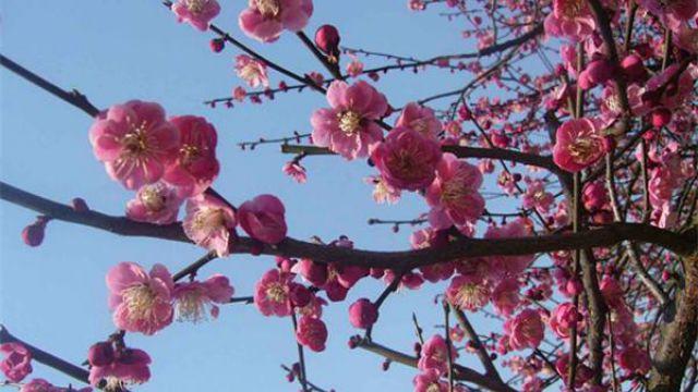 梅花主要虫害的识别与防治