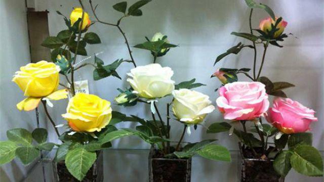 玫瑰苗怎么种