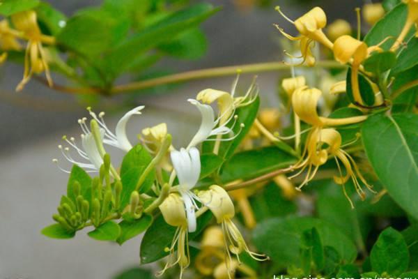 金银花与断肠草的区别