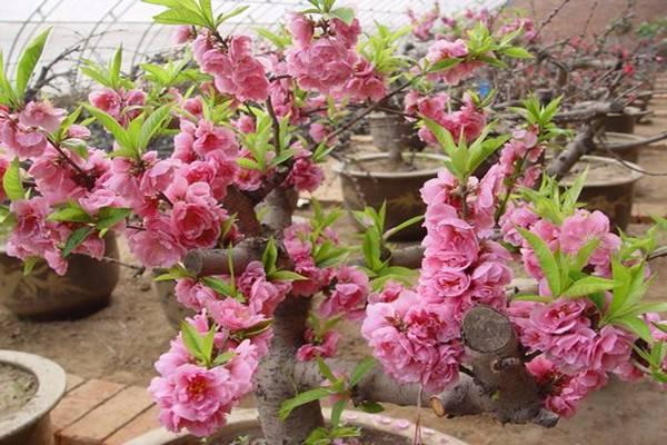 桃花的繁殖方式有哪些