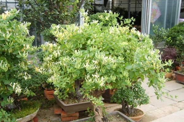 盆栽金银花如何矮化