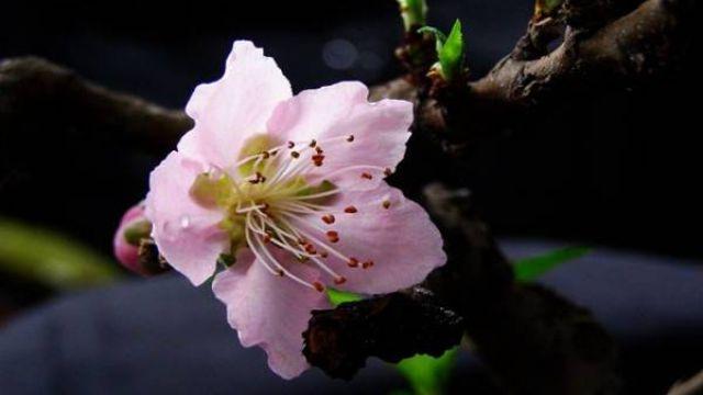 桃花盆景养护的三大要点