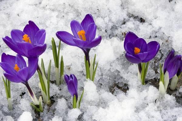 藏红花(番红花)常见病害及防治
