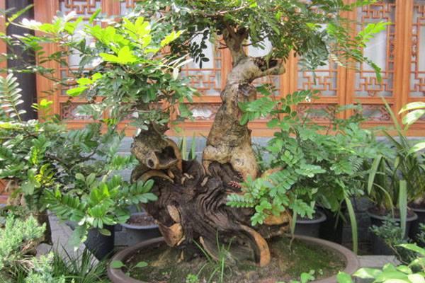 水培地瓜盆景_清香木盆景图片欣赏 - 花百科