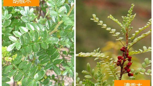 怎么区分清香木和胡椒木(图文解说)