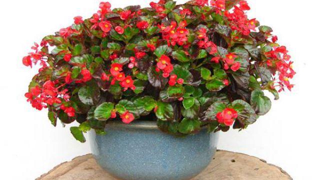 怎样让四季海棠常年开花